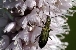Image of <i>Chrysanthia viridissima</i>