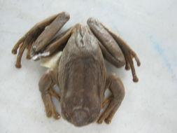 Image of Popayan Marsupial Frog