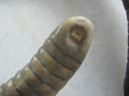 Image of common caecilians