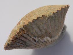 Image of Sharpirhynchia