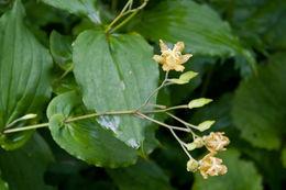 Image of <i>Tricyrtis latifolia</i> Maxim.