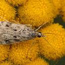 Image of <i>Eudonia truncicolella</i> Stainton 1849