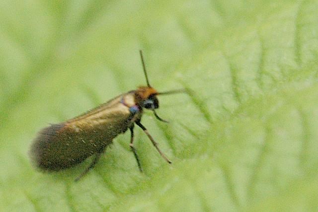 Image of marsh marygold moth