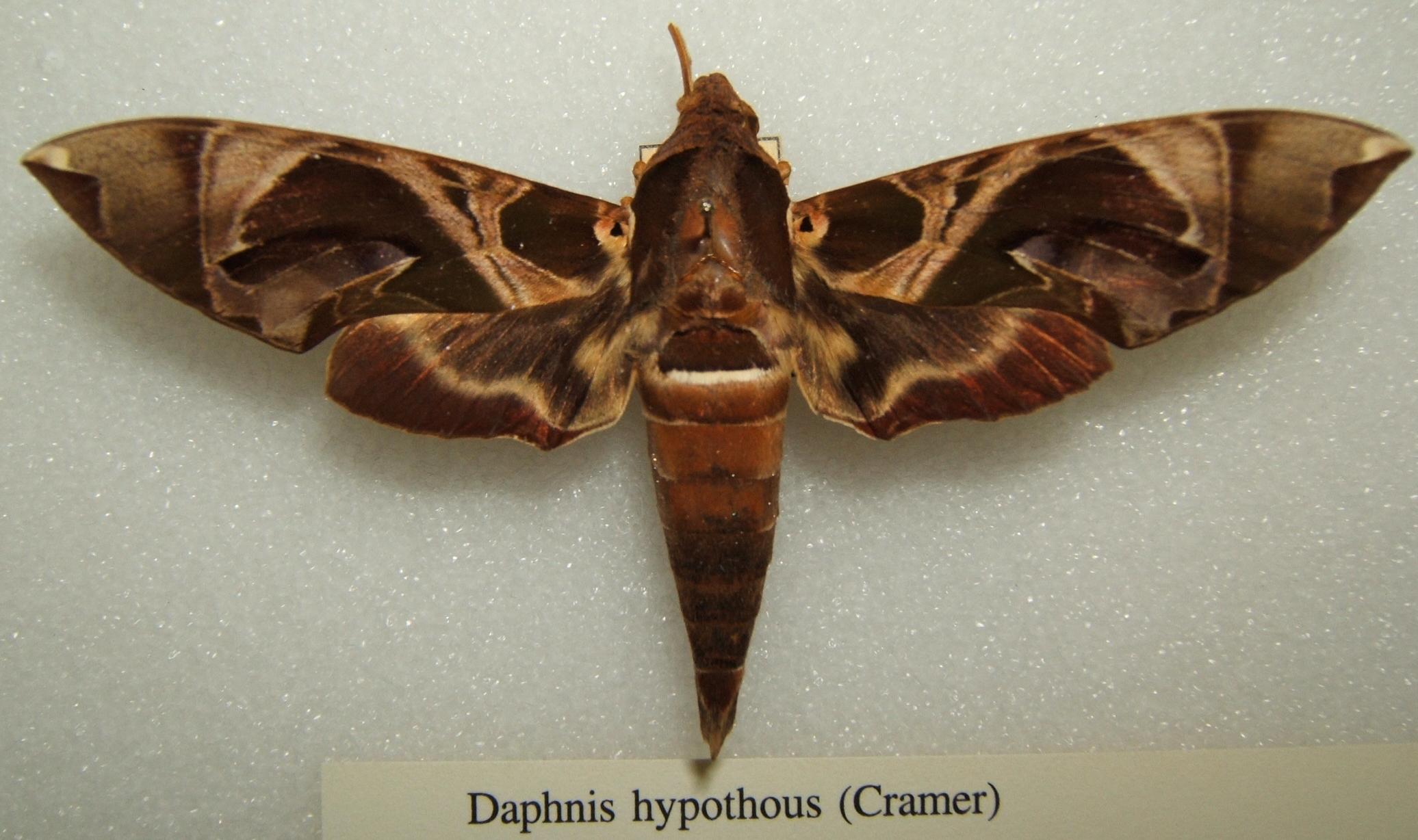 Image of <i>Daphnis hypothous</i> (Cramer 1780)