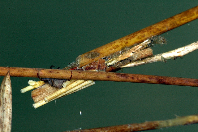 Image of caddisflies