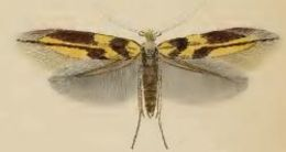 Image of lime bent-wing