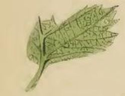 Image of Hawthorn Bent-wing