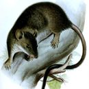 Image of White-footed Climbing Mouse