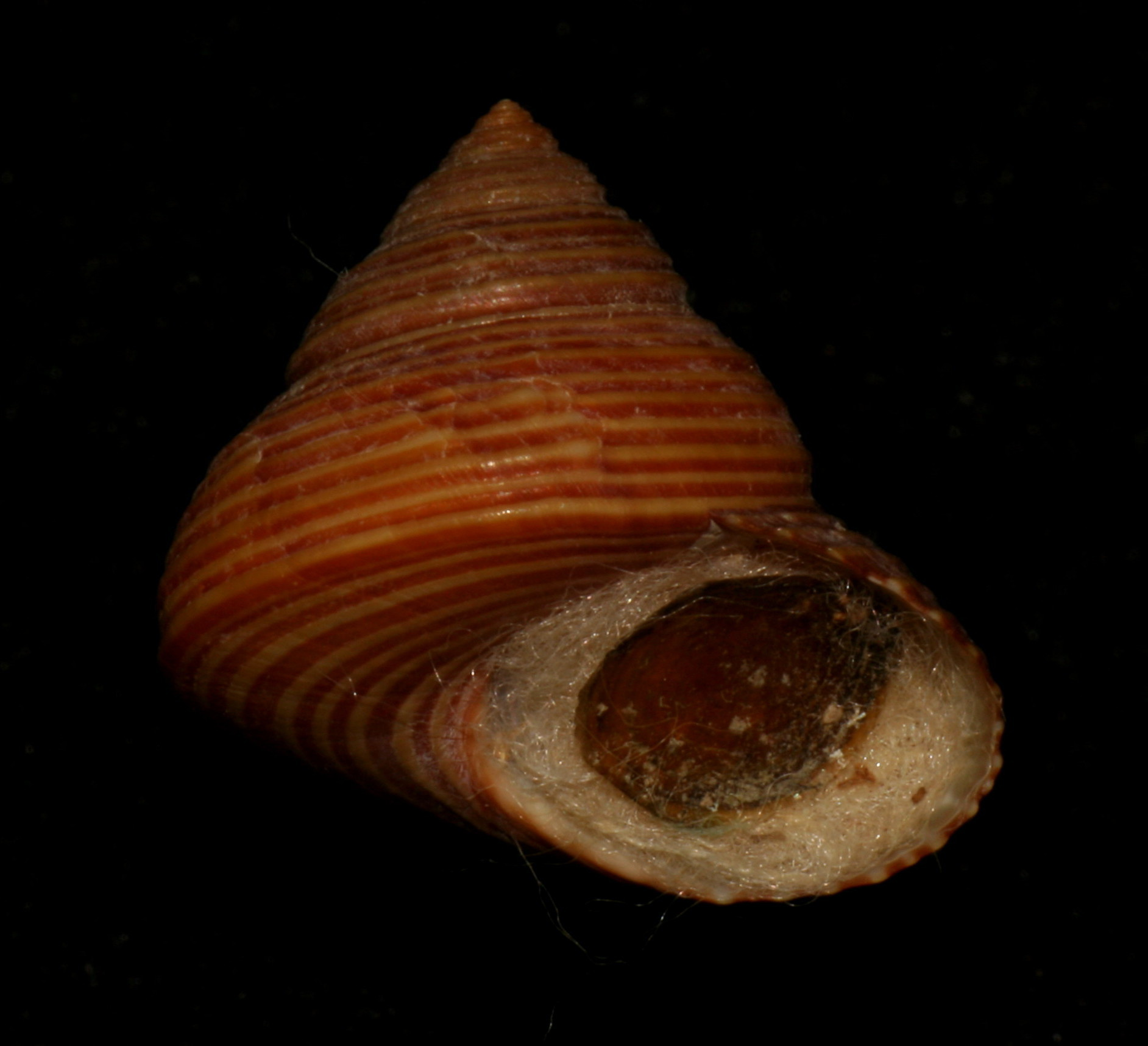 Image of blue topsnail