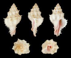 Image of <i>Coralliophila fearnleyi</i> (Emerson & D' Attilio 1965)