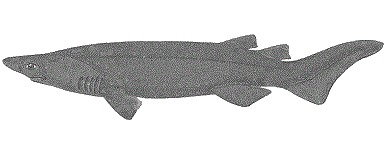 Image of Prickly Shark