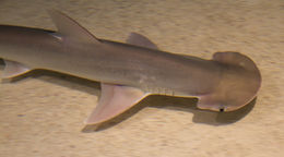 Image of Bonnethead Shark