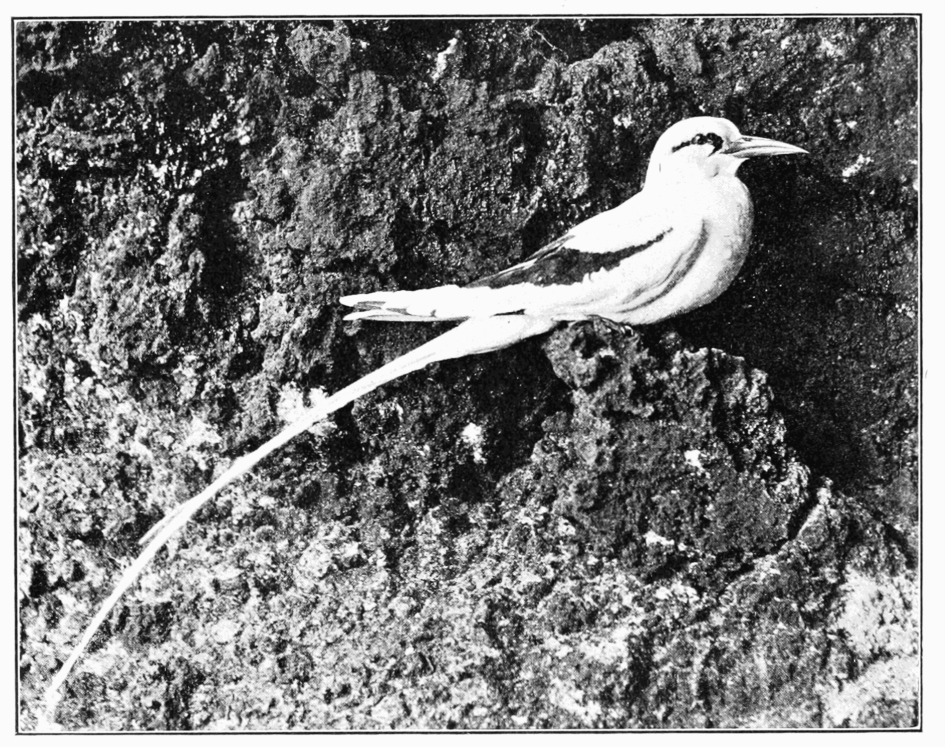 Image of White-tailed Tropicbird