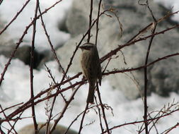 Image of Brown Accentor