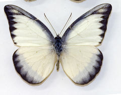 Image of Chocolate Albatross (butterfly)
