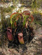 Image of <i>Nepenthes rowanae</i>