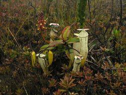 Image of <i>Nepenthes alba</i>