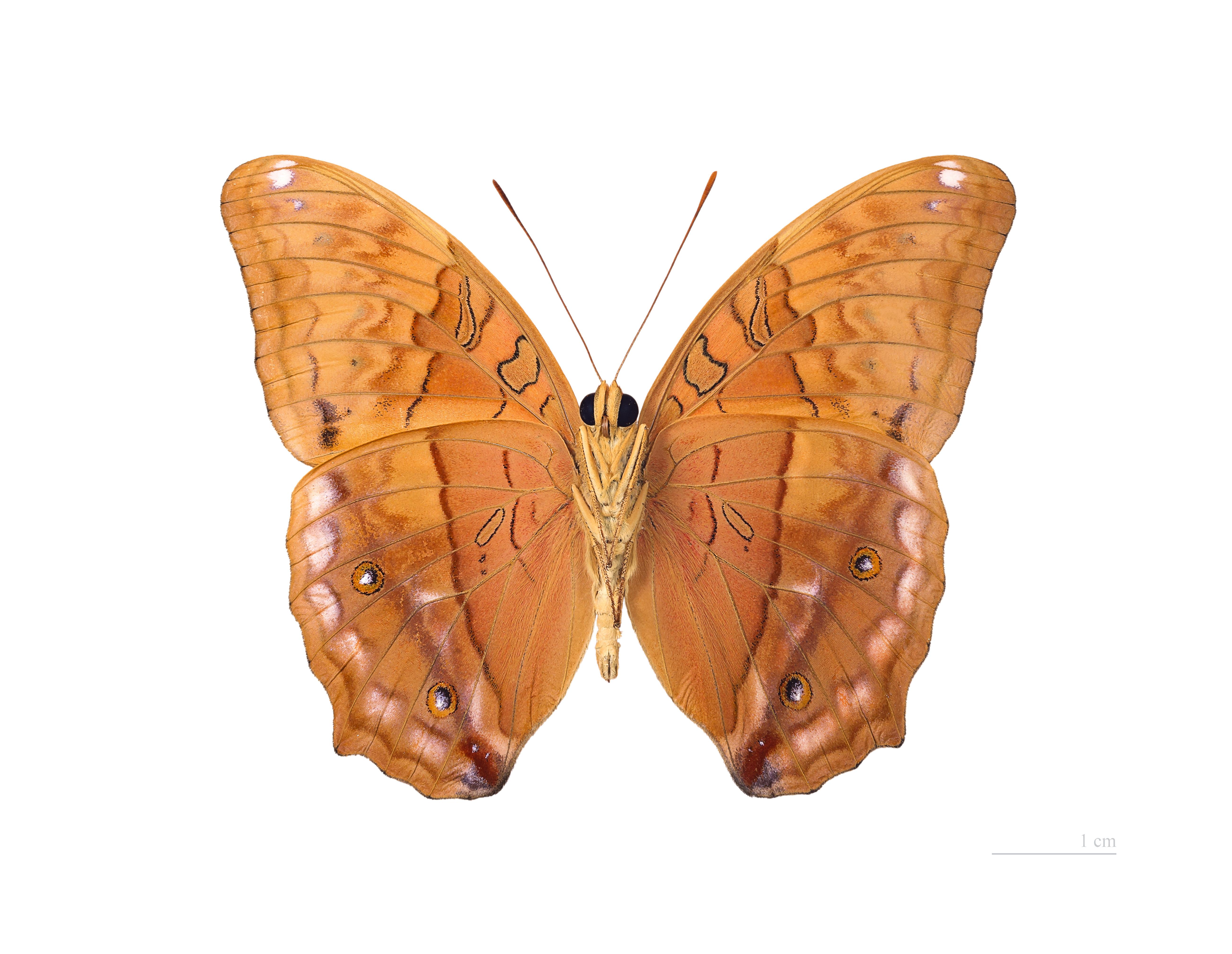 Image of <i>Vindula arsinoe</i> Cramer 1779