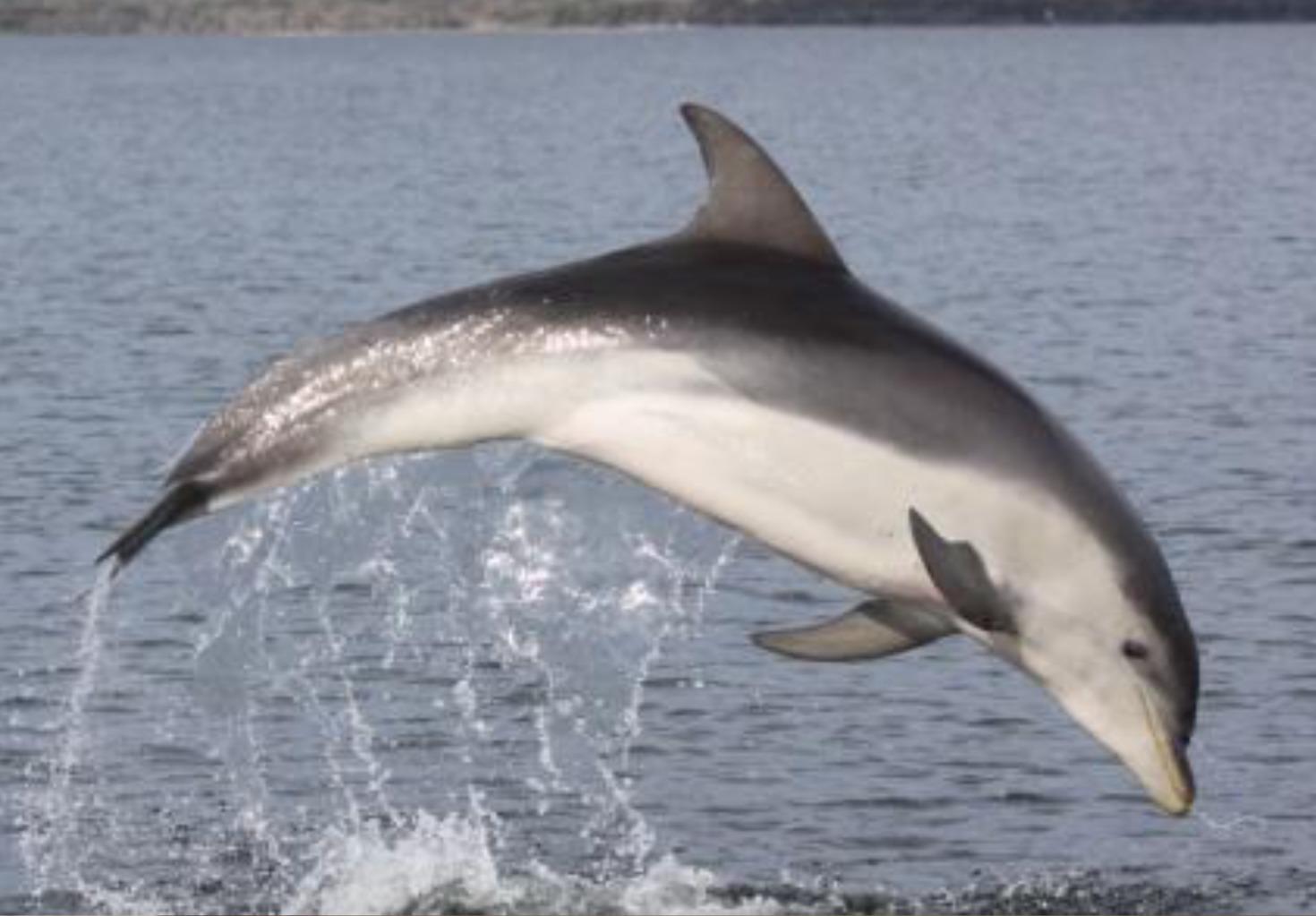 Image of Burrunan Dolphin