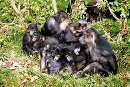 Image of Tonkean macaque