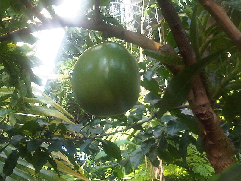 Image of common calabash tree