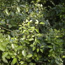 Image of <i>Jasminum didymum</i> G. Forst.