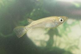 Image of Japanese killifish