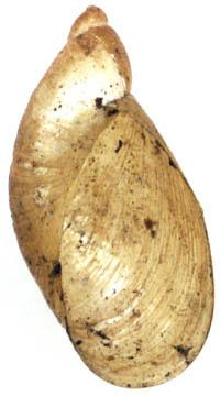 Image of <i>Oxyloma elegans</i>