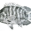 Image of Malayan Leaffish