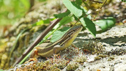 Image of Iberian Rock Lizard