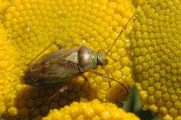 Image of <i>Lygocoris viridis</i>