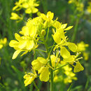 Image of India mustard