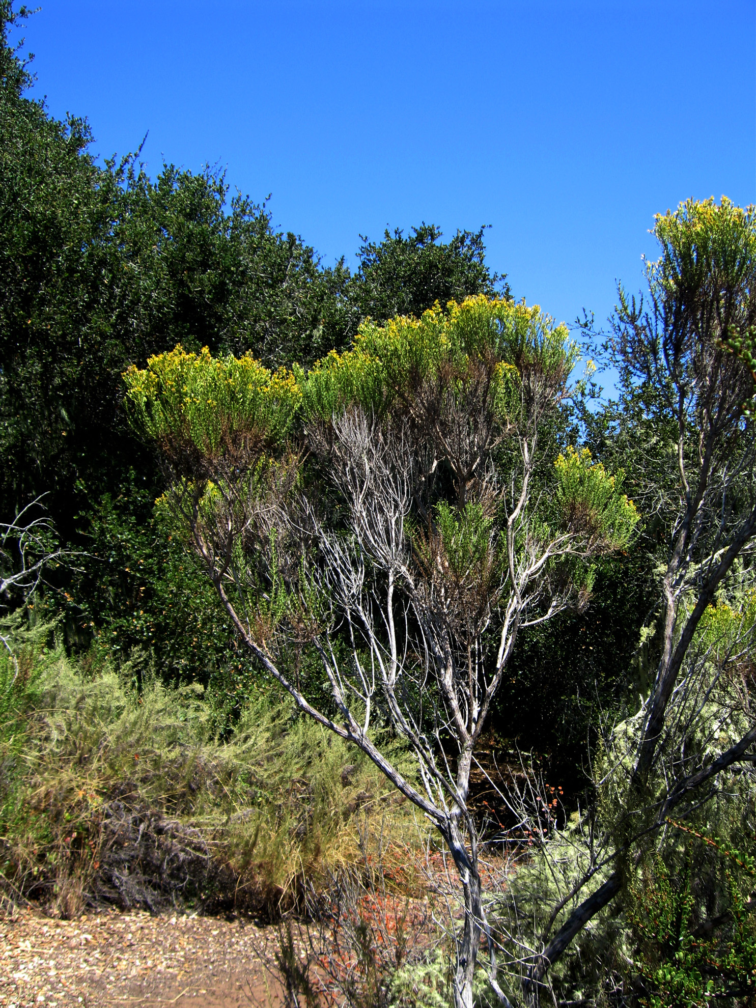 Image of Chaparral Broom