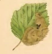 Image of <i>Heringocrania unimaculella</i> Zetterstedt 1840