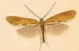Image of <i>Incurvaria pectinea</i> Haworth 1828
