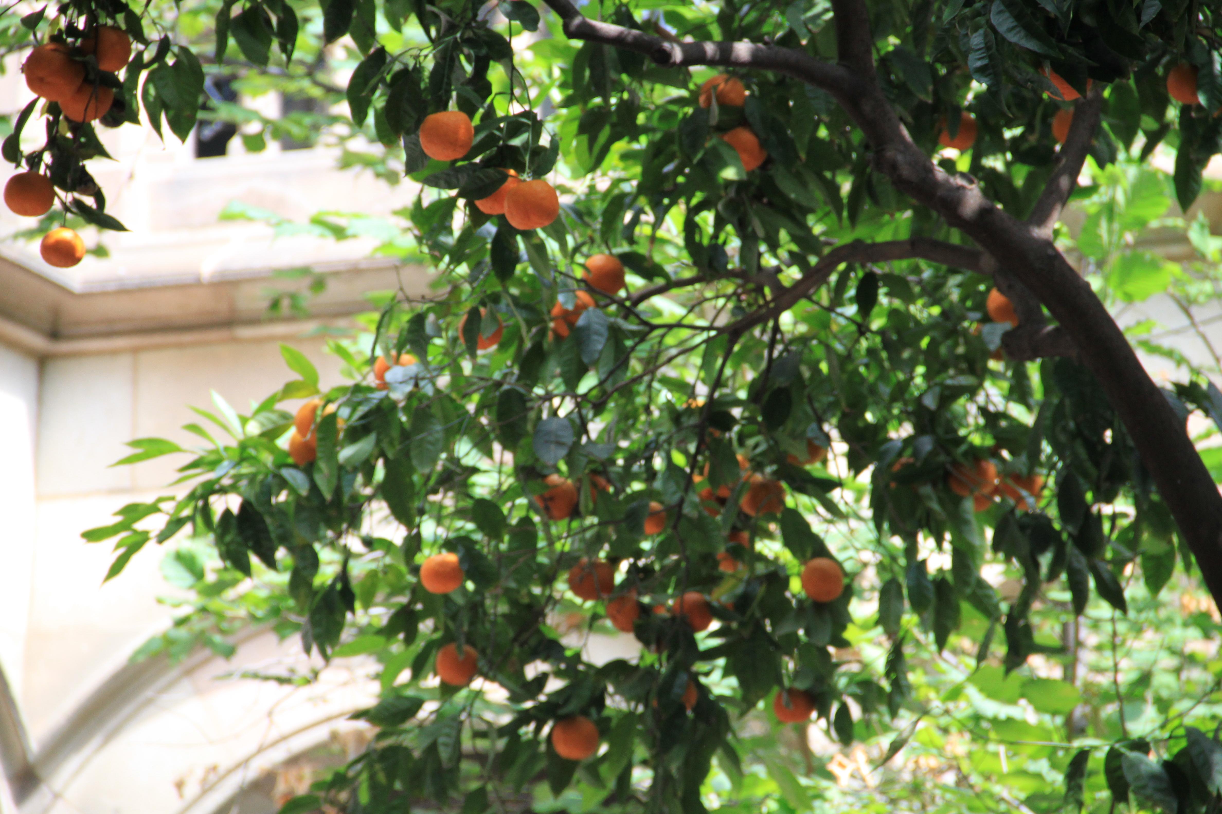 Image of Meiwa kumquat