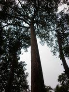 Image of <i>Dipterocarpus alatus</i> Roxb.