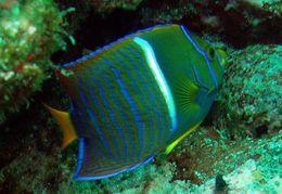 Image of King Angelfish
