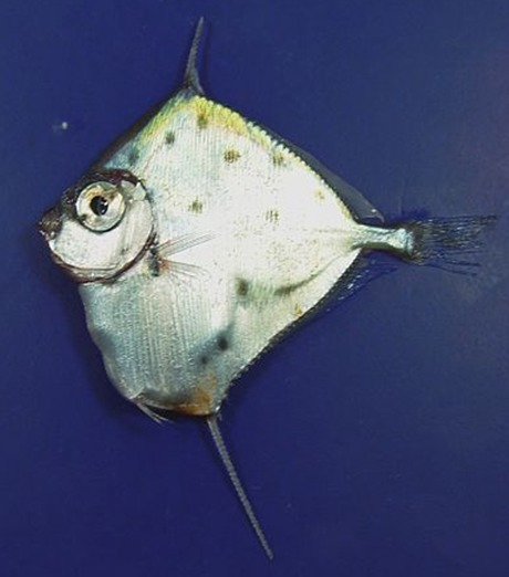 Image of Spotted Tinselfish