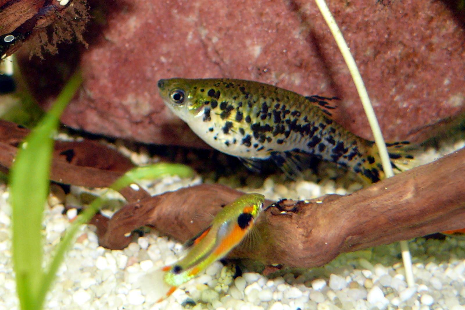 Image of speckled mosquitofish