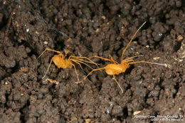 Image of Bone Cave harvestman