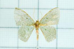 Image of <i>Hemithea aquamarina</i>