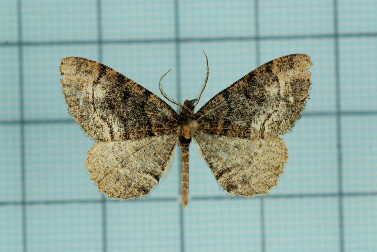 Image of <i>Alcis nubeculosa</i> Bastelberger 1909
