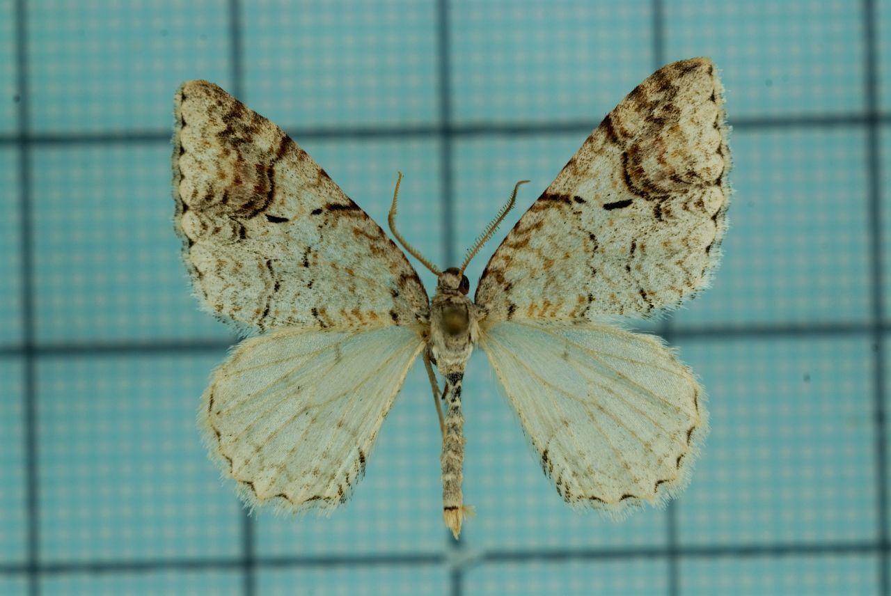 Image of <i>Venusia lineata</i> Wileman 1916
