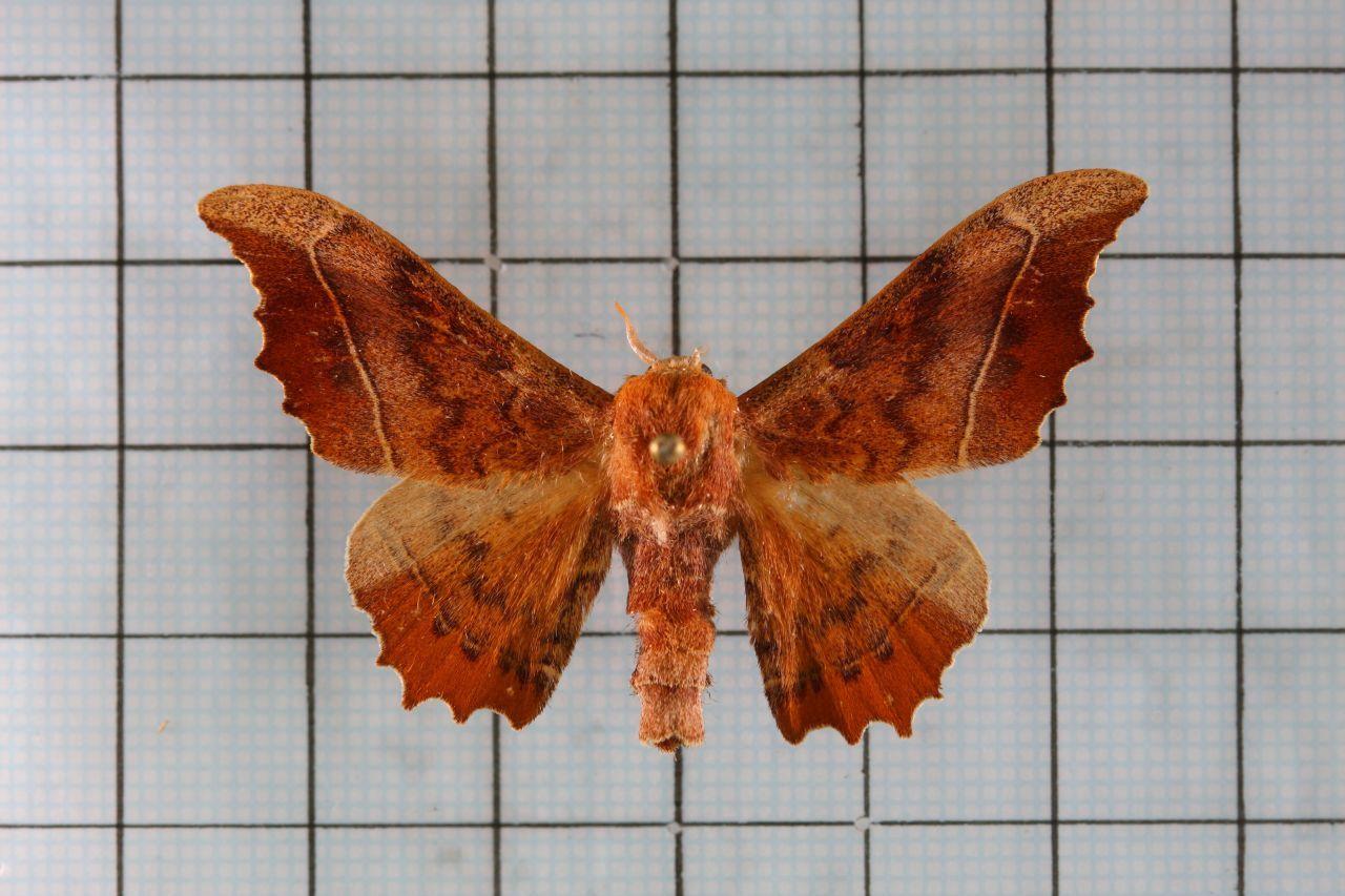 Image of <i>Oberthueria formosibia</i>