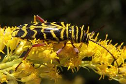 Image of Locust Borer