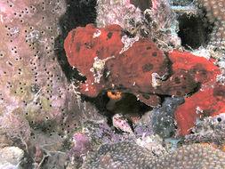 Image of Flagpole Frogfish