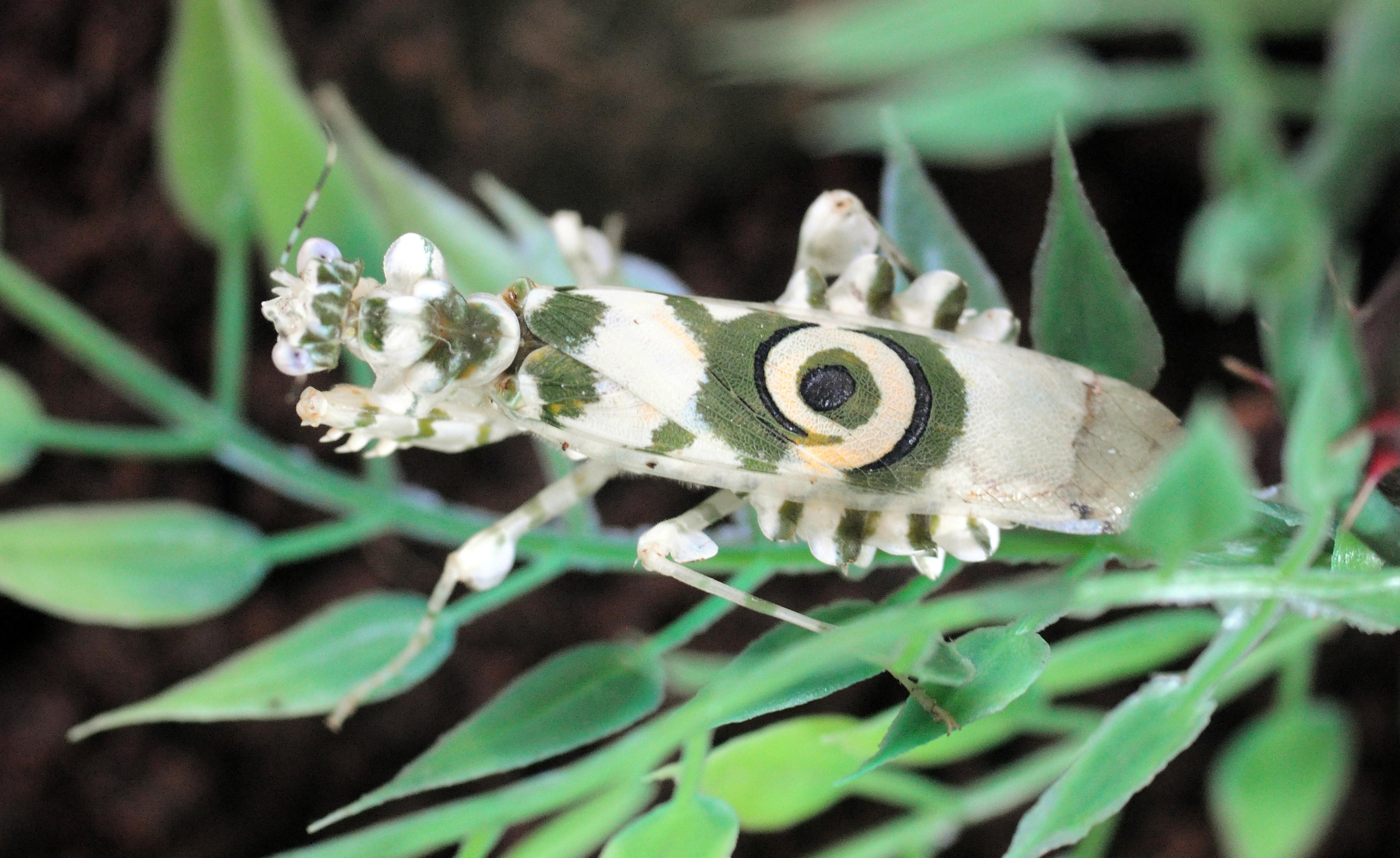 Image of <i>Pseudocreobotra wahlbergii</i>