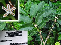 Image of robusta coffee