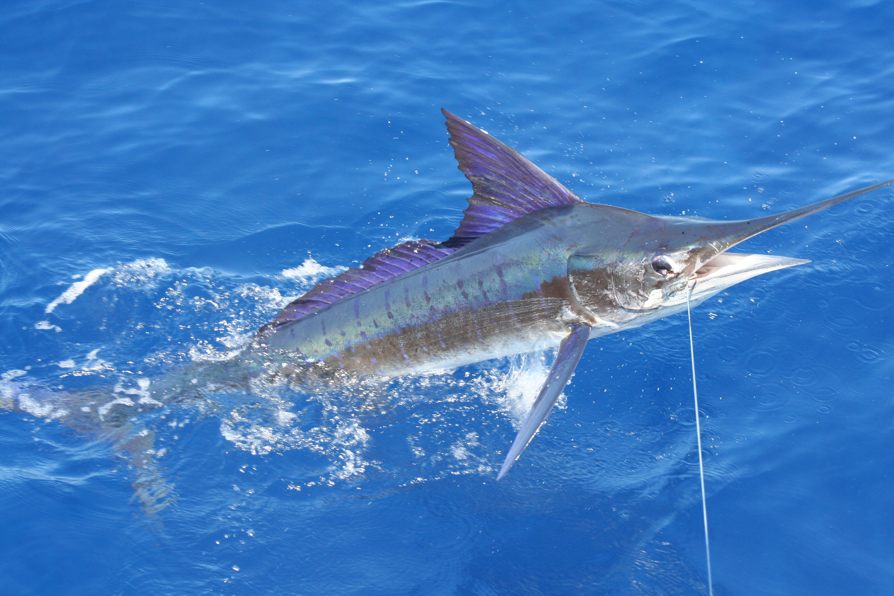 Image of Striped Marlin